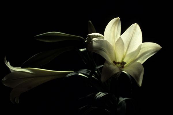 Au fil des jours 10 mars 2011 - Lys blanc signification ...